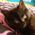 soft black kitten