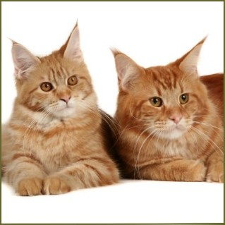 red maine coon cat color