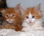 classic red colored maine coon kittens; one with white