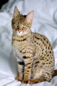 portrait of young savannah cat