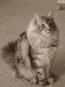 beautiful silver maine coon cat