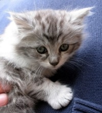 tiny silver colored maine coon kitten