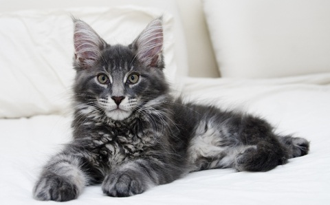 Cost for maine coon cat