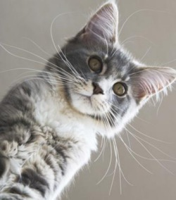 silver and white maine coon kitten