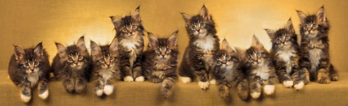 ten brown tabby maine coon
