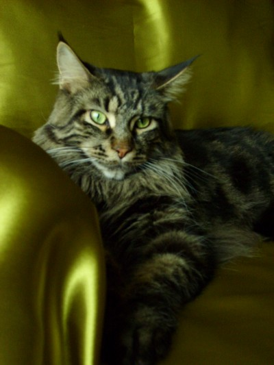 thor the maine coon cat