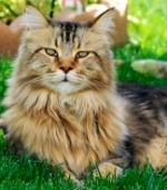 colorful torbie maine coon cat