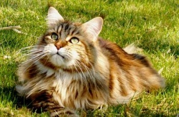 tortie maine coon cat in the grass