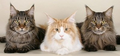 three young colorful maine coon cats