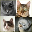 all breeds of cat