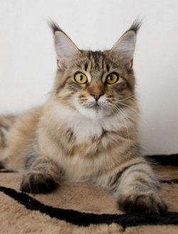 beautiful young maine coon cat with dark tipped ears