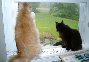 super big maine coon cat