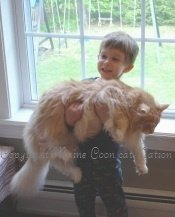 very big maine coon cat with a young boy