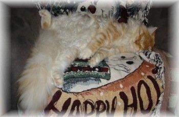 fluffy maine coon cat sleeping