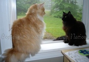 one big maine coon cat with one small maine coon cat