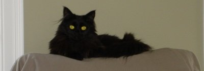 black maine coon cat up high