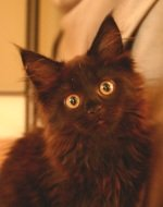 adorable black maine coon kitten