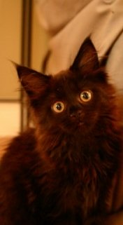cute young black maine coon kitten