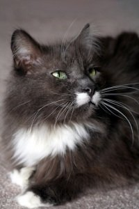 portrait of pretty black and white maine coon cat