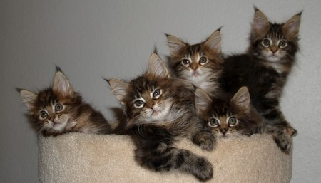 cute brown tabby maine coon kittens