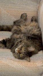 Big Brown Maine Coon Cat