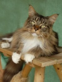 brown tabby maine coon cat with green eyes and white paws