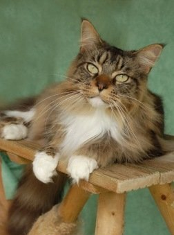 beautiful brown with white maine coon cat with big green eyes