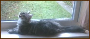young maine coon cat on windowsill