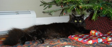 black maine coon cat under christmas tree