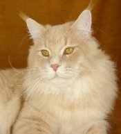 champion maine coon cat