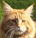 classic red maine coon cat