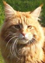 classic red colored maine coon cat