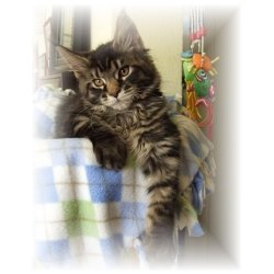 classic tabby maine coon kitten