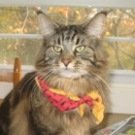 classic brown male maine coon cat