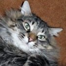 silver male maine coon