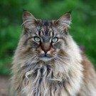 brown mackerel maine coon cat