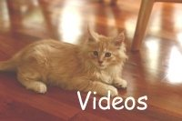 small red tabby maine coon kitten links to video page