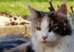 closeup of tortie maine coon kittens outdoors