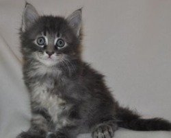 small silver maine coon kitten