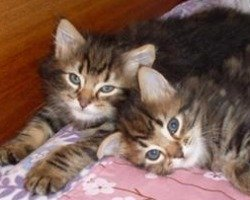 two maine coon mix kittens