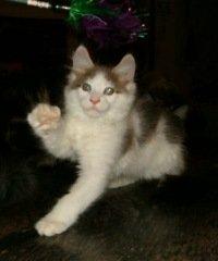 duke the kitten