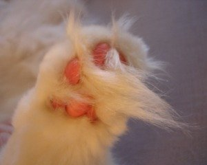 maine coon cat with long foot tufts