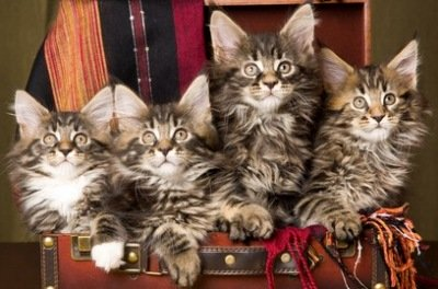 adorable maine coon kittens in a suitcase