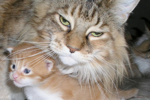 adorable maine coon kitten with maine coon cat