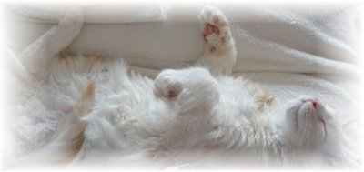 maine coon kitten sleeping on his back