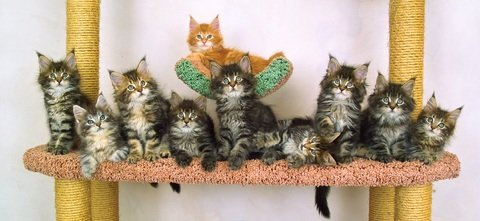 ten cute fuzzy maine coon kittens in a row