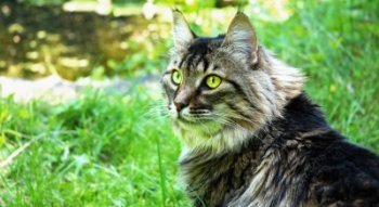 maine coon cat outdoors looking over a field