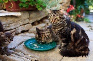maine coon cats eating dinner
