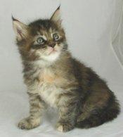 brown maine coon kitten
