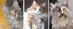 march maine coon cat pictures